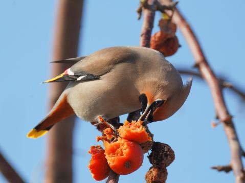 comment empêcher les oiseaux de manger vos fruits ?