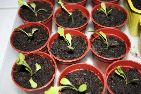 plants de salade du potager bar. Black Bedroom Furniture Sets. Home Design Ideas